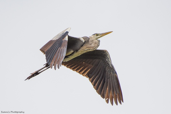 Grey Heron in flight by swami1969