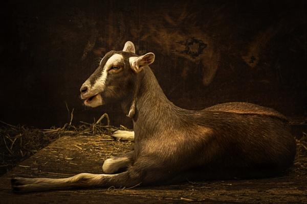Goat by vivdy
