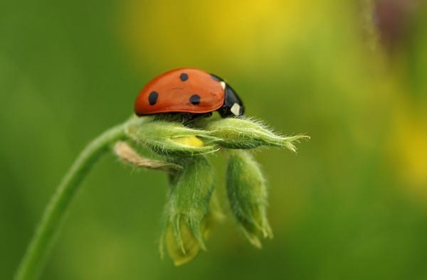 Ladybird in a meadow 2 by georgiepoolie