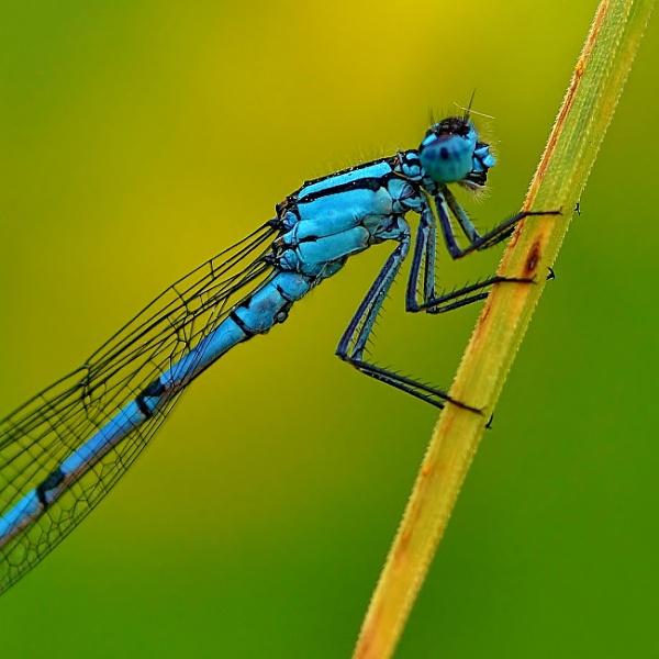 Blue Damselfly macro. by georgiepoolie