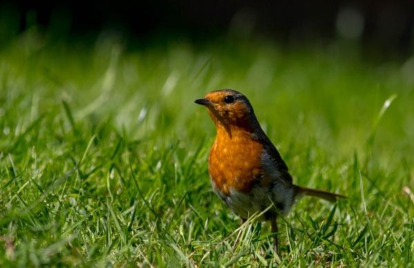 Cautious Robin by Johnsodav