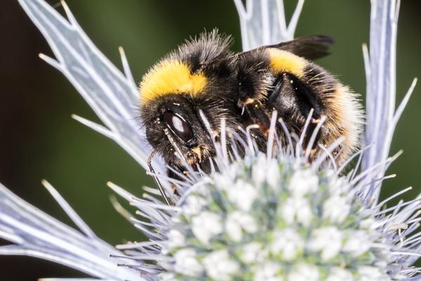 Bumblebee by gouldii