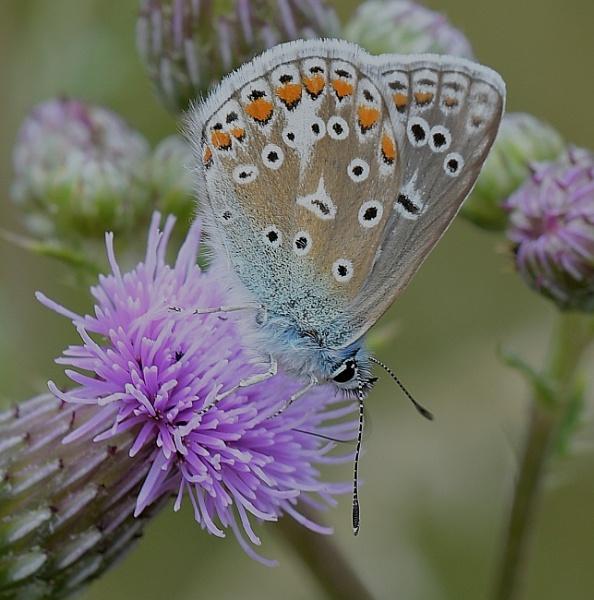 Butterflies by Holmewood