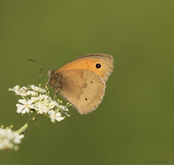 Meadow Brown   (Maniola jurtina) by ade123