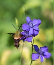 Clearwing and Larkspur by taggart