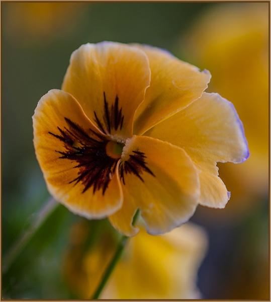 mellow yellow by estonian