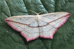 Large Bloodvein moth--Timandra comae