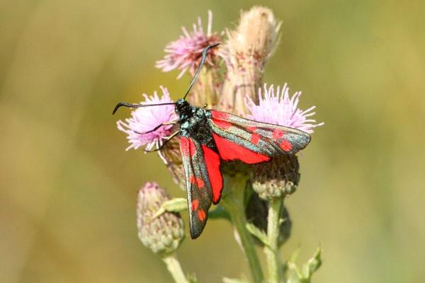 Six spot Burnet Moth--Zygaena filipendulae by bobpaige1