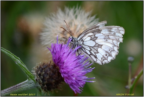 Marbled White.