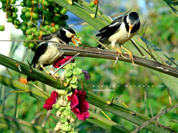 Pied Myna by SharjahBirds