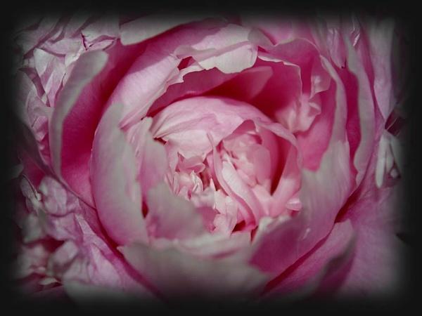 In the Pink by IreneClarke