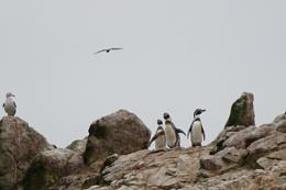 Bird life on Ballestas Island
