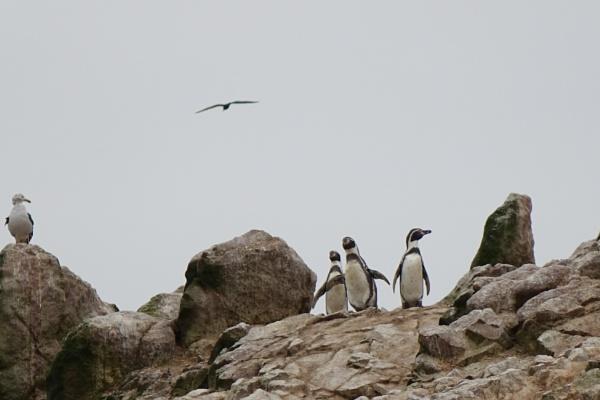 Bird life on Ballestas Island by frogs123