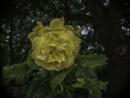Yellow rose by BillRookery