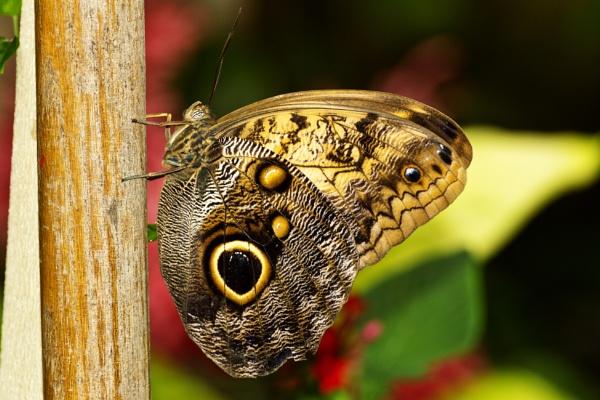 Owl butterfly by kip55