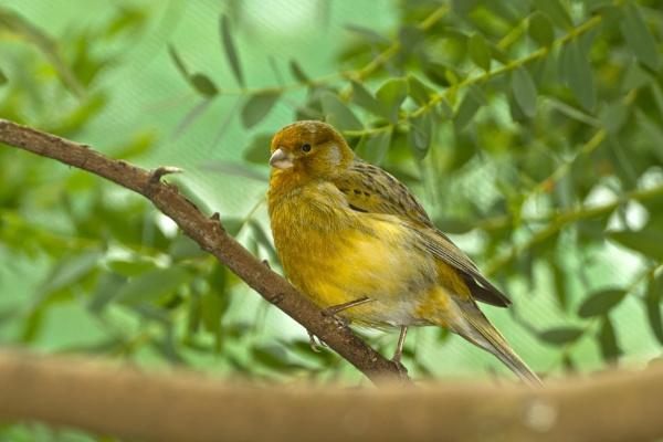 Saffron Finch by kip55