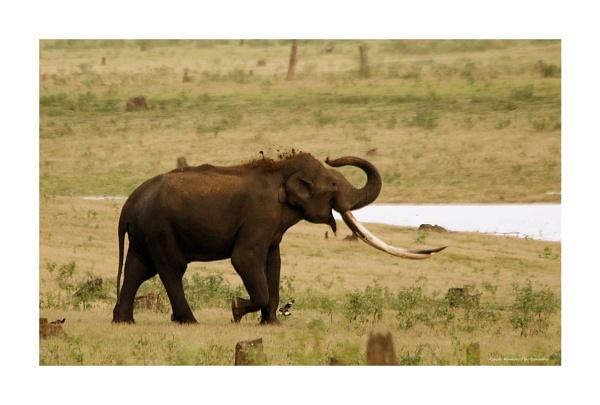 Indian Elephant by ashokynk