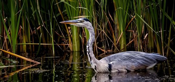 Grey Heron by Bigpoolman