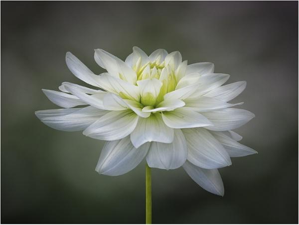 White Dahlia by Leedslass1