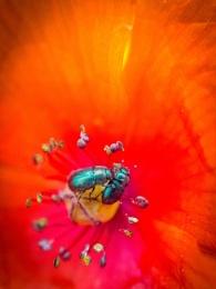 Flower Beetles in Field Poppy