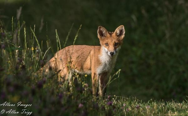 Mr Fox by allan56