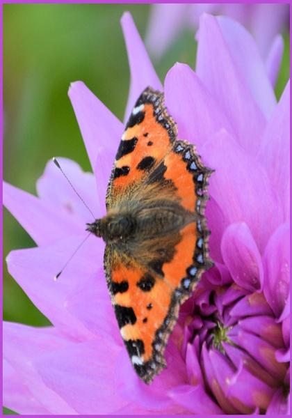 ** Butterfly on Dahlia ** by Rock