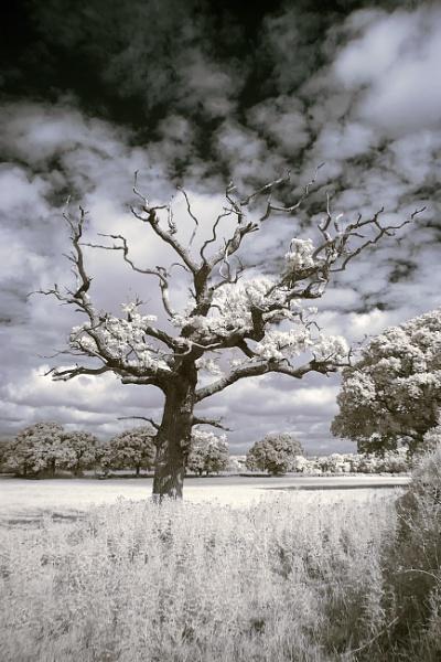 My favourite tree.IR by frenchie44
