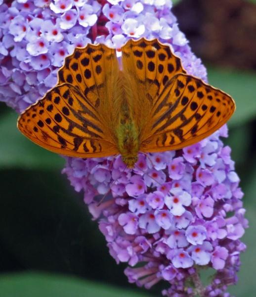 Downward Facing Butterfly by KarenFB