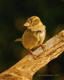 Sparrow2243