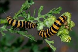 Cinnabar Moth Caterpillars on Ragwort.