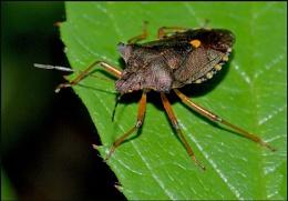 Forest Bug-Pentatona rufipes.