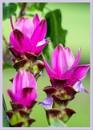 Three flowers by wsteffey