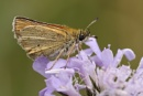Small skipper by colin beeley