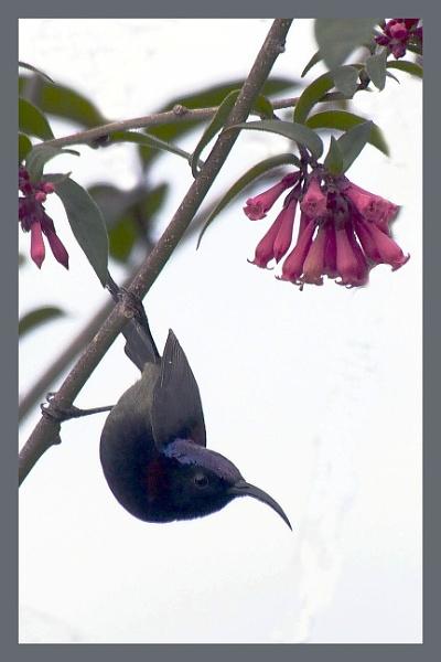 Black Necked Sunbird by prabhusinha