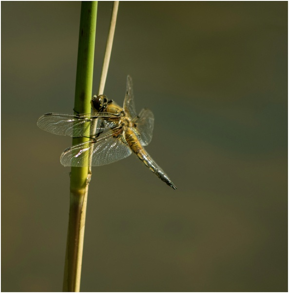 Dragonfly by malleader