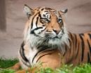 Tiger by JFitz