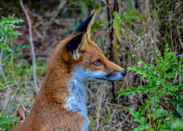 Mr Fox by Craigie10