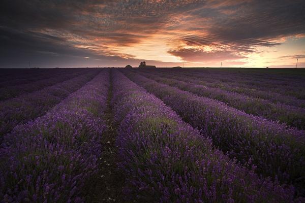 Lavender Field, Horton Kirby, Kent. by derekhansen