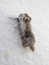 Cretan Moth