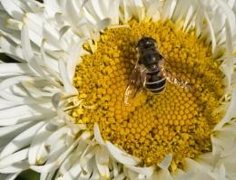 Mr Pollinator