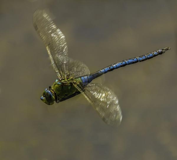 Emperor in flight by esoxlucius