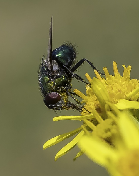Pollen covered fly by esoxlucius