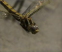 Female Darter in flight