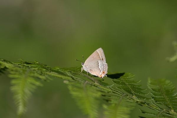 Purple Hairstreak Butterfly by Alfies_Girl