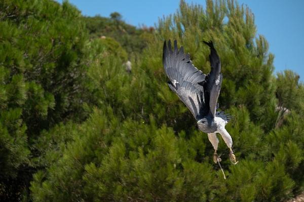 Chilean Blue Eagle at Mount Calamorrow near Benalmadena by Phil_Bird