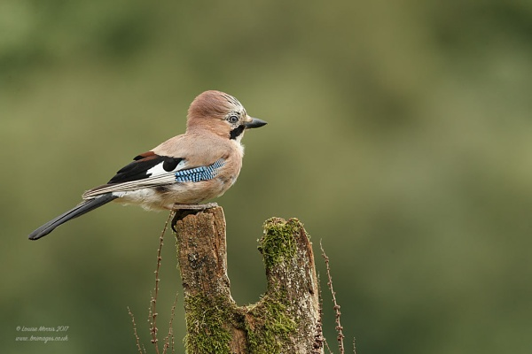 Jay by Louise_Morris