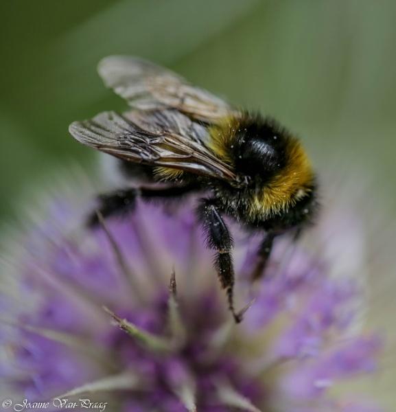 Bee by mammarazzi