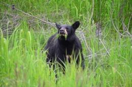 Black Bear Cub Valdez Alaska