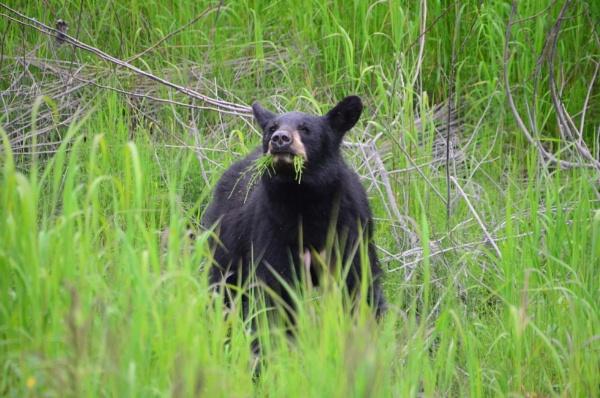 Black Bear Cub Valdez Alaska by Rebeak