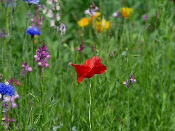 Poppy by ShaunsPics